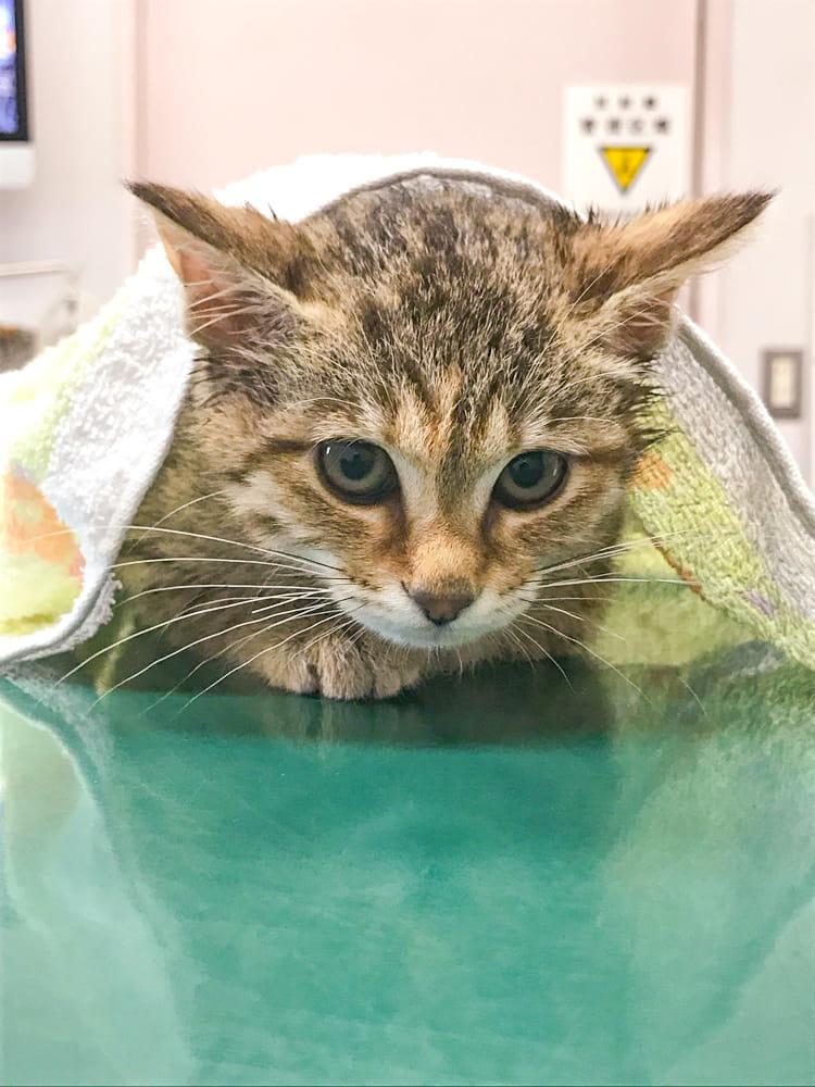 診察台の上でタオルをかけられ縮こまる猫