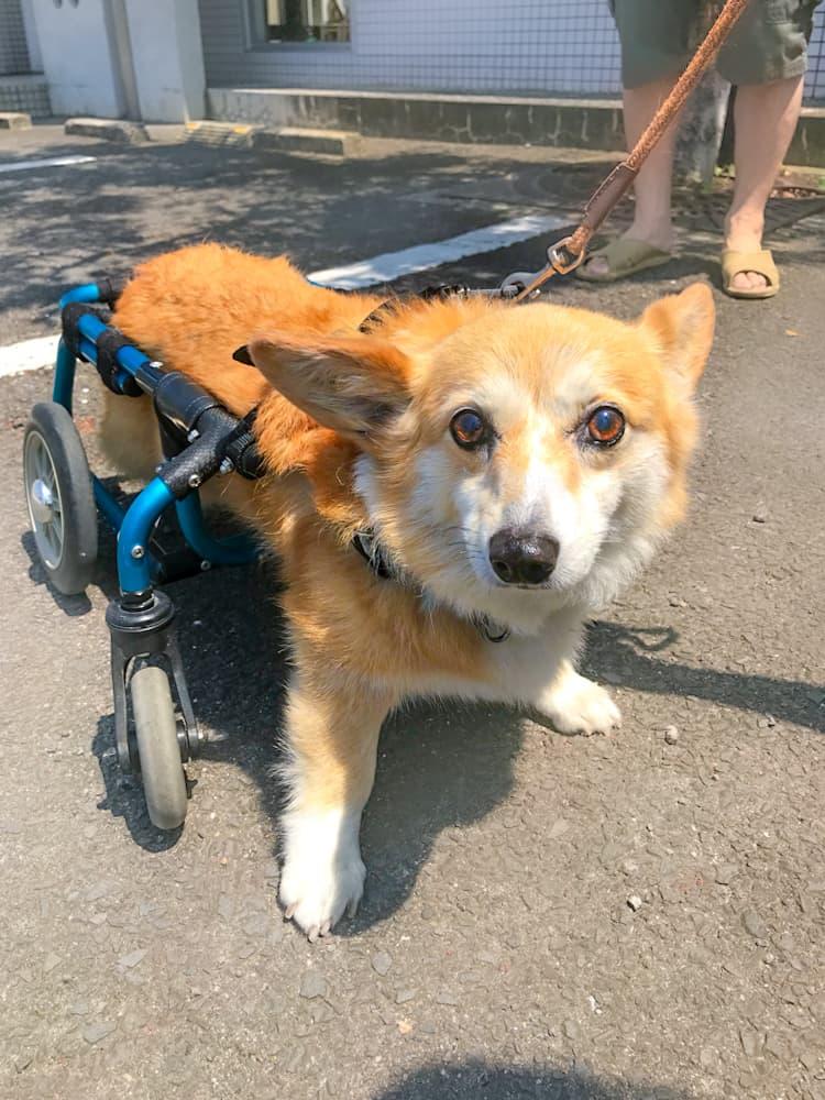 補助器具をつけた犬