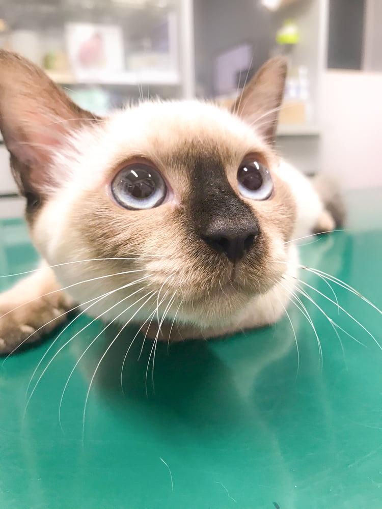 診察台に乗った上目遣いの猫