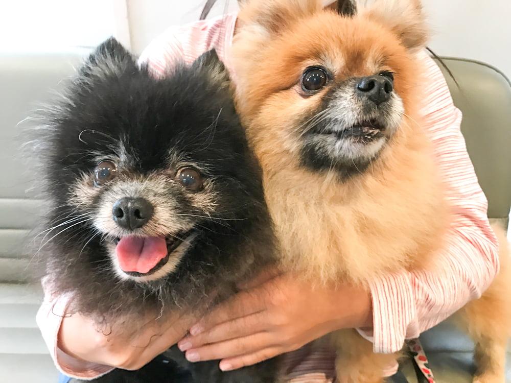 飼い主に抱っこされる犬2匹