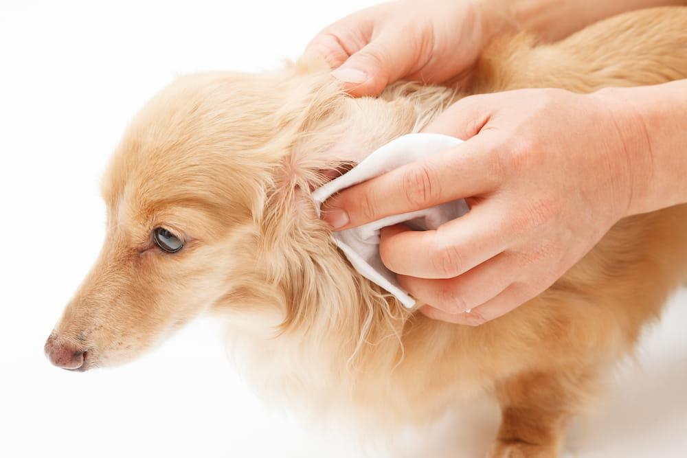 耳掃除してもらう犬